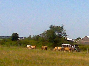 don't see too many cows in LI